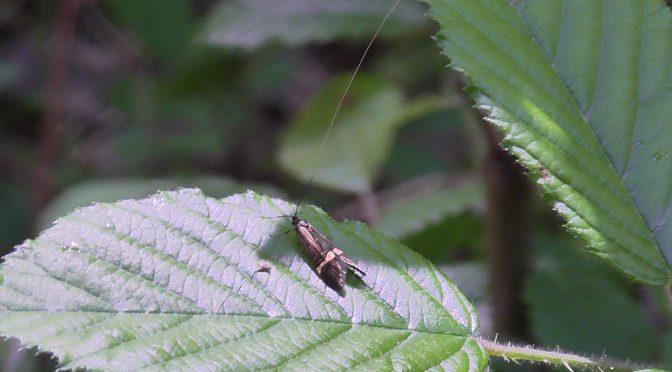 Lepidoptera Teil 1: Langhornmotte