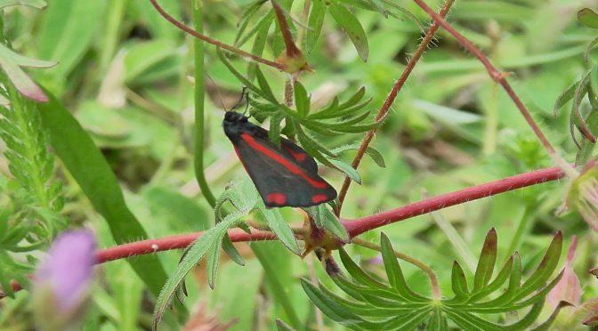 Lepidoptera Teil 2: Jakobskrautbär