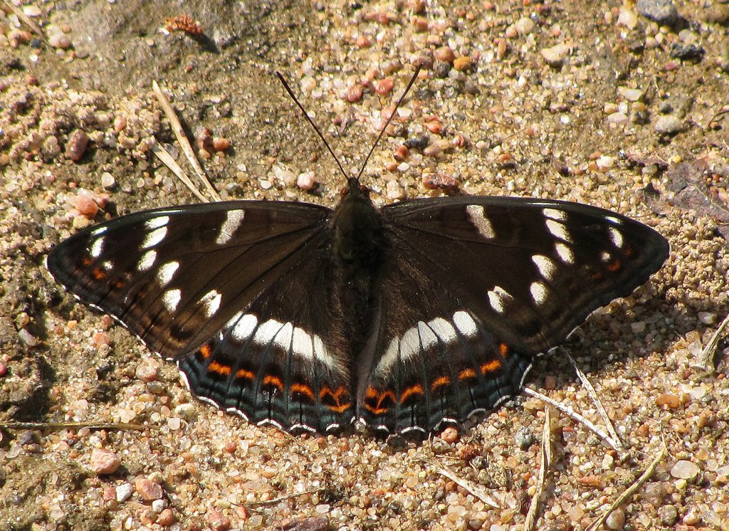 https://commons.wikimedia.org/wiki/File:Limenitis_populi.jpg