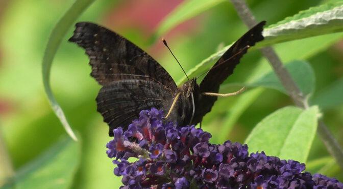 Der angeblich böse Schmetterlingsflieder