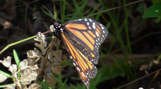 Das Monarch- Experiment